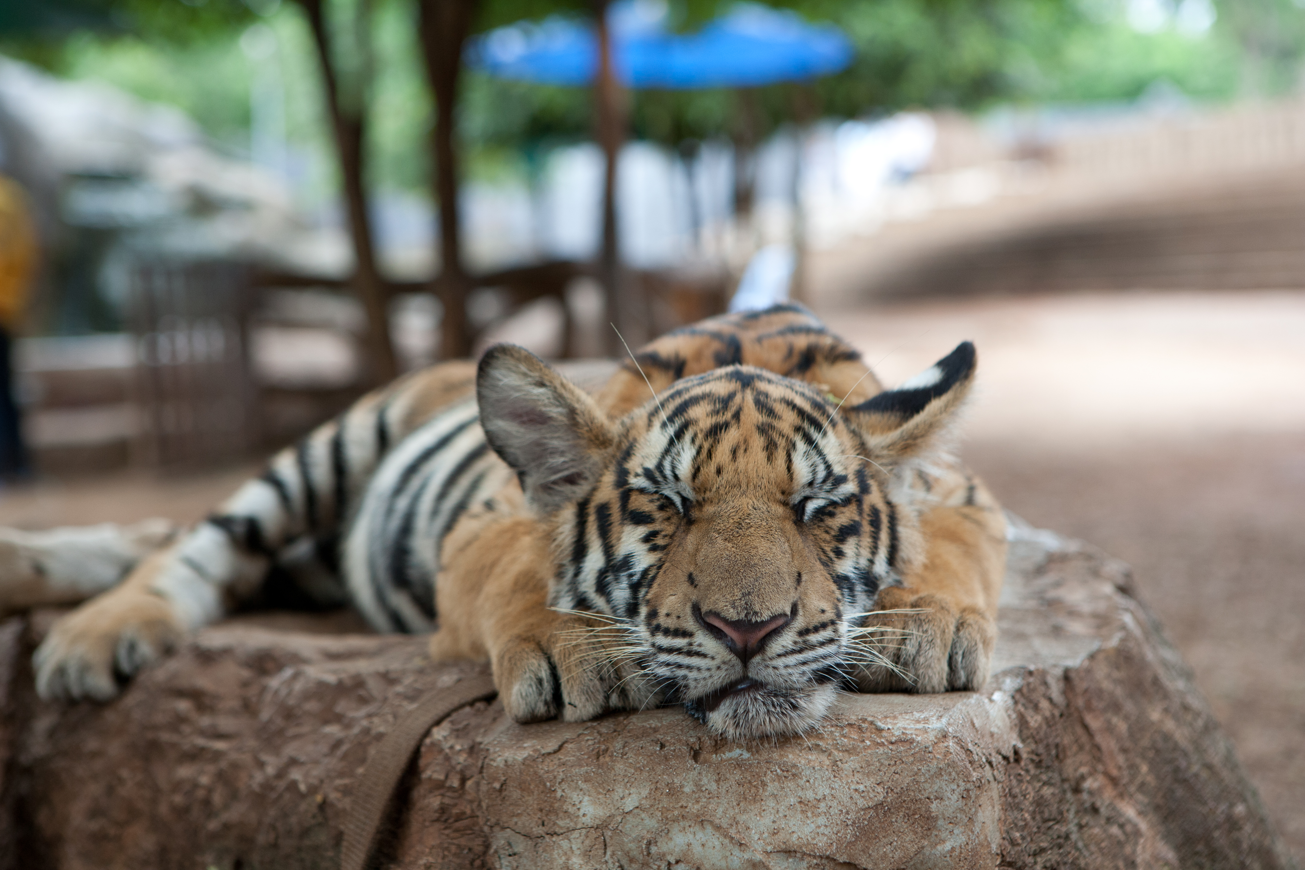 Time to drop the Tiger Temple from the bucket list