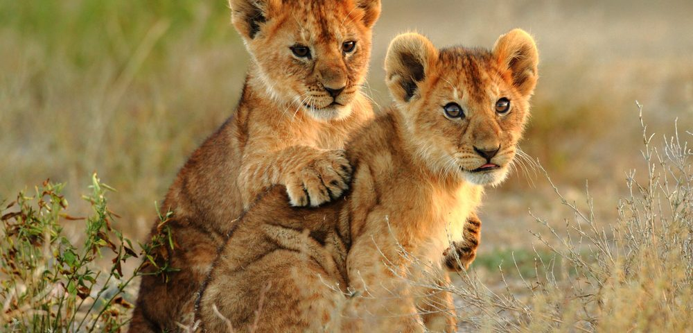 Kenya Tourism Board backs Born Free's Year of the Lion campaign
