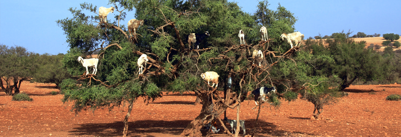 Iconic and Instagrammable or invented and inhumane? Morocco's tree goats
